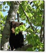 Maine Black Bear Cub In Tree Acrylic Print
