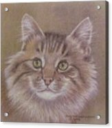Maine Coon Cat Acrylic Print by Dorothy Coatsworth