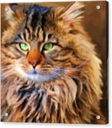 Maine Coon Cat Acrylic Print