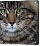 Maine Coon Cat Portrait Acrylic Print