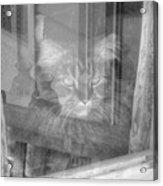 Maine Coon In Window Acrylic Print
