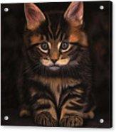 Maine Coon Kitty Acrylic Print by Sabine Lackner