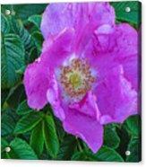 Maine Rose Acrylic Print