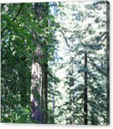 Majesic Redwoods Acrylic Print