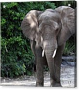 Majestic African Elephant Acrylic Print