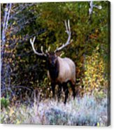 Majestic Bull Elk Survivor In Colorado  Acrylic Print