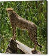 Majestic Cheetah Acrylic Print