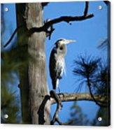 Majestic Great Blue Heron 1 Acrylic Print