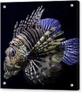 Majestic Lionfish Acrylic Print