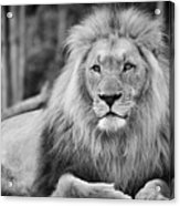 Majestic Male Lion Black And White Photo Acrylic Print
