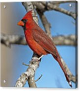 Majestic Mr. Redbird Acrylic Print