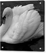 Majestic Mute Swan Acrylic Print