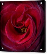 Majestic Rose Acrylic Print