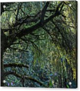 Majestic Weeping Willow Acrylic Print by Marion McCristall