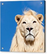 Majestic White Lion Acrylic Print