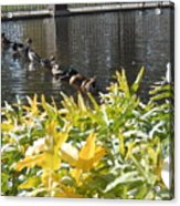 All My Ducks In A Row Acrylic Print