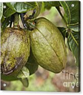 Malabar Chestnuts Acrylic Print