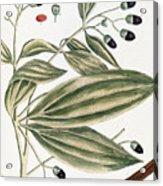 Malabar Cinnamon, 1735 Acrylic Print
