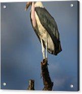 Malabu Stork  Acrylic Print