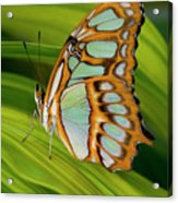 Malachite Butterfly (siproeta Stelenes) On Rhapis Palm Leaves (rhapis Excelsa) Acrylic Print