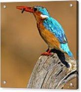 Malachite Kingfisher  Acrylic Print