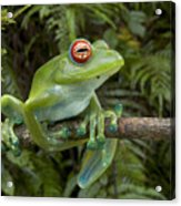 Malagasy Web-footed Frog Boophis Luteus Acrylic Print