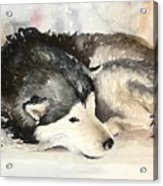 Malamute At Rest Acrylic Print