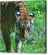 Malayan Tiger # 2 Acrylic Print