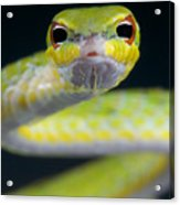 Malayan Vine Snake Acrylic Print
