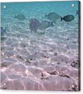 Maldives School Of Tropical Fish Acrylic Print
