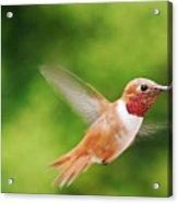 Male Allen's Hummingbird Acrylic Print