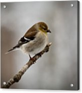 Male American Golden Finch Acrylic Print