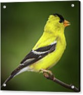 Male American Golden Finch On Twig Acrylic Print