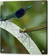 Male And Female Damsel Fly Acrylic Print
