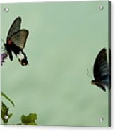 Male And Female Great Mormon Butterflies Hovering Over A Wildflower Acrylic Print by Sami Sarkis