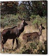 Male And Female Mountain Nyala Acrylic Print