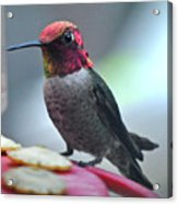 Male Anna's Hummingbird On Feeder Perch Acrylic Print