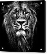 Male Asiatic Lion Acrylic Print