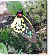 Male Birdwing Butterfly Acrylic Print