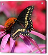 Male Black Swallowtail Butterfly On Echinacea Plant Acrylic Print