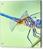 Male Blue Dasher Dragonfly Acrylic Print by Bonnie Barry