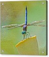 Male Blue Dasher Dragonfly Acrylic Print