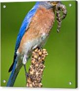 Male Bluebird With Larvae Acrylic Print