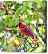 Male Cardinal And His Berry Acrylic Print by Kerri Farley
