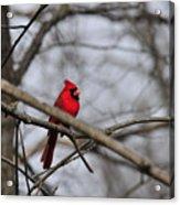 Male Cardinal Acrylic Print