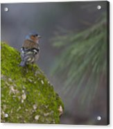Male Common Chaffinch  Acrylic Print