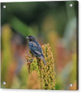 Male Cowbird Feasts On Milo In Shiloh National Military Park, Tennessee Acrylic Print