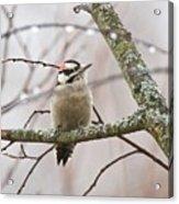 Male Downey Woodpecker Acrylic Print