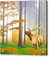Male Elk Bugling Acrylic Print