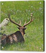 D10270-male Elk  Acrylic Print